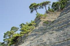 Alberi del pino che crescono su una spiaggia ripida Immagine Stock