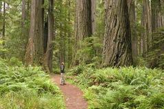 Alberi del Redwood con la viandante che osserva in su. Fotografie Stock