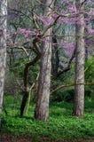alberi del Rosso-germoglio in primavera Fotografia Stock Libera da Diritti