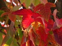Alberi del sugli del rosse de Foglie Fotos de archivo libres de regalías