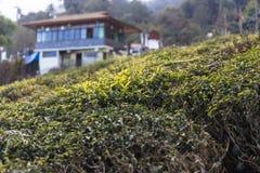 Alberi del tè nel giardino di tè di Temi con la casa nei precedenti nell'inverno vicino a Gangtok Il Sikkim, India Immagini Stock