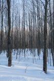 Alberi del terreno boscoso di Snowy con le ombre Fotografia Stock Libera da Diritti