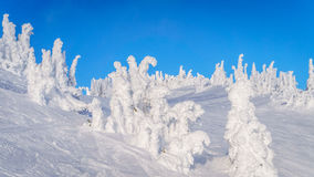 alberi del tipo di fantasma nell'alto alpino Fotografia Stock