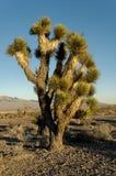 Alberi del Yucca Fotografia Stock