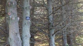 Alberi dell'abete rosso bianco Fotografia Stock Libera da Diritti