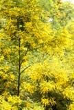 Alberi dell'acacia Immagine Stock