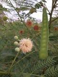 Alberi dell'acacia Fotografia Stock