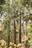 Alberi dell'alloro sulla Madera Fotografia Stock Libera da Diritti