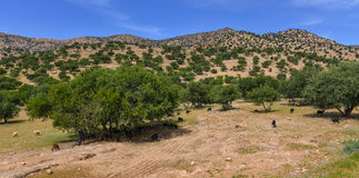 Alberi dell'argania spinosa nel Marocco Fotografie Stock