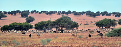 Alberi dell'argania spinosa nel Marocco Fotografia Stock