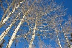 Alberi dell'Aspen fotografie stock