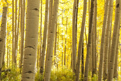 Alberi dell'Aspen in autunno Immagine Stock