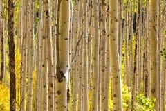 Alberi dell'Aspen in Colorado Immagine Stock Libera da Diritti