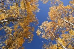 Alberi dell'Aspen di autunno Immagini Stock Libere da Diritti