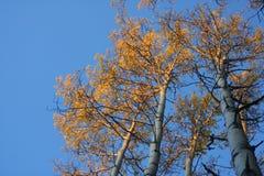 Alberi dell'Aspen di autunno all'indicatore luminoso di primo mattino Immagini Stock