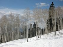 Alberi dell'Aspen in inverno Immagini Stock