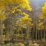 Alberi dell'Aspen nel colore di caduta Immagini Stock