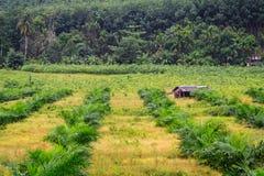 Alberi dell'elaeis guineensis Immagine Stock Libera da Diritti