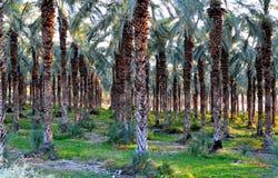 Alberi della data in Jordan Valley Fotografia Stock