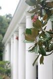 Alberi della magnolia davanti alle colonne bianche Fotografie Stock Libere da Diritti