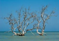 Alberi della mangrovia Fotografia Stock