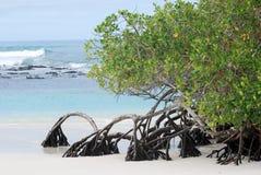 Alberi della mangrovia che crescono all'isola di Galapagos della spiaggia Immagini Stock