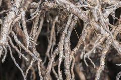 Alberi della mangrovia nella foresta Fotografie Stock