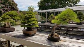 Alberi della miniatura dei bonsai fotografia stock