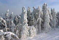 Alberi della neve al sole Immagine Stock Libera da Diritti