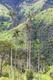 Alberi della palma da cera Fotografia Stock