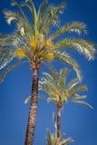 Alberi della palma da datteri fotografie stock libere da diritti