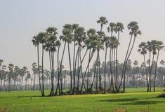 Alberi della palma da datteri Fotografia Stock