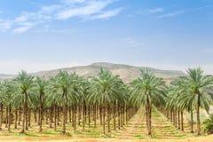 Alberi della palma da datteri sulla piantagione del frutteto in Galilea Immagine Stock