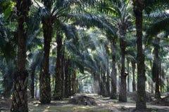 Alberi della palma da olio nell'elaeis guineensis della piantagione Immagine Stock Libera da Diritti