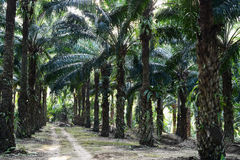 Alberi della palma da olio nell'elaeis guineensis della piantagione Immagine Stock