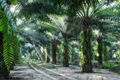 Alberi della palma da olio nell'elaeis guineensis della piantagione Immagini Stock