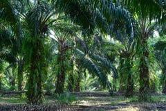 Alberi della palma da olio nell'elaeis guineensis della piantagione Fotografie Stock