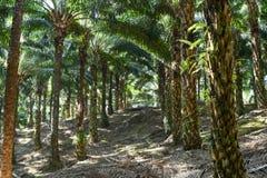Alberi della palma da olio in piantagione & in x28; elaeis guineensis & x29; Fotografia Stock