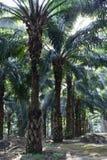 Alberi della palma da olio in piantagione & in x28; elaeis guineensis & x29; Fotografia Stock Libera da Diritti