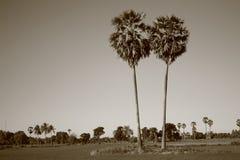 Alberi della palma da zucchero Fotografia Stock Libera da Diritti