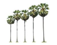 Alberi della palma da zucchero Fotografie Stock Libere da Diritti