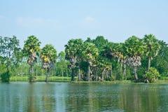 Alberi della palma da zucchero al bordo della palude Fotografie Stock