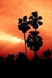 Alberi della palma da zucchero della siluetta Fotografie Stock Libere da Diritti