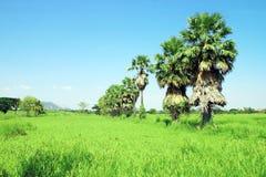 Alberi della palma da zucchero nel campo Immagini Stock
