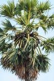 Palma da zucchero Fotografia Stock