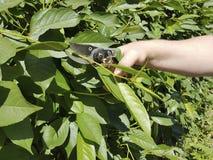 alberi della potatura, preoccupantesi per le cesoie all'aperto di stagione di servizio della maniglia del giardino Immagine Stock
