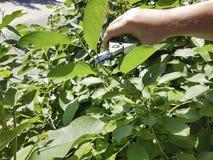 Alberi della potatura, preoccuparsi stagionale per il giardino fotografie stock libere da diritti