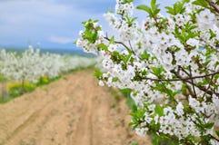 Alberi della primavera, fine su Fotografia Stock