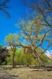 Alberi della primavera in Zion Utah fotografia stock libera da diritti