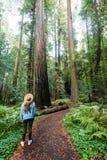Alberi della sequoia Immagine Stock